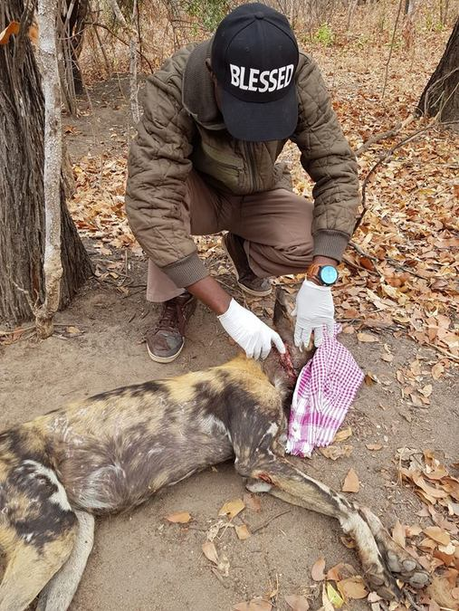Wild dog conservation, South Luangwa, Zambia
