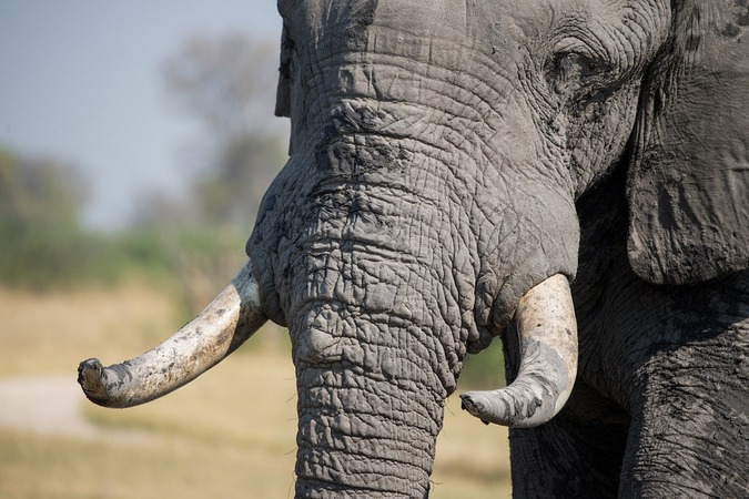 African elephant and tusks, ivory