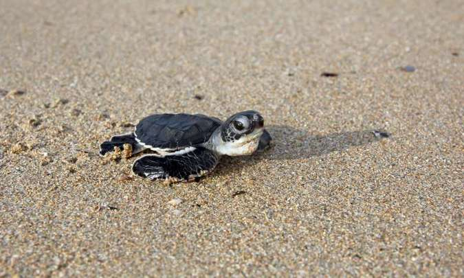 A green turtle hatching © University of Exeter