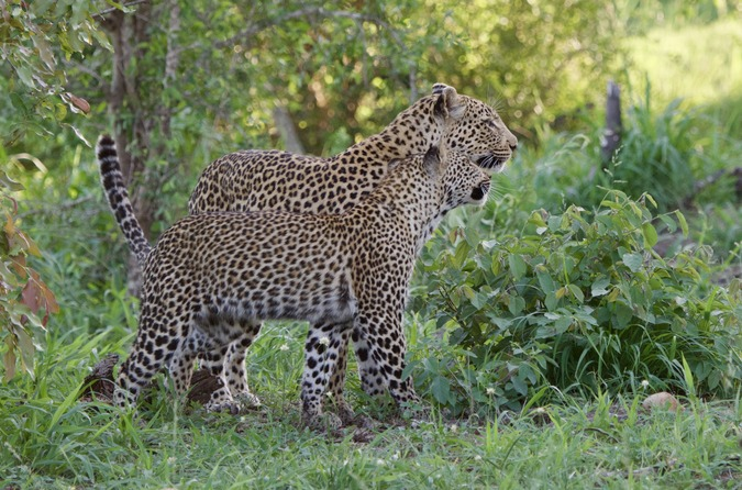 Leopard mother with cub