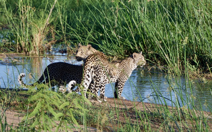 Leopard mother with two cubs at river