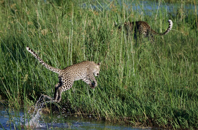 Leopard cub following mom across the river