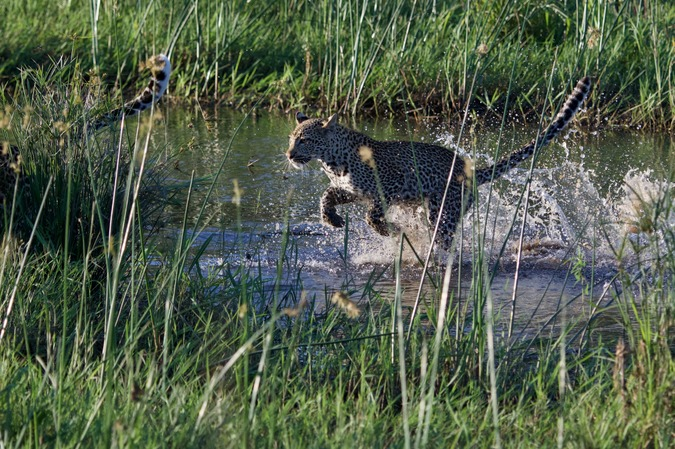 Leopard cub landing with a splash