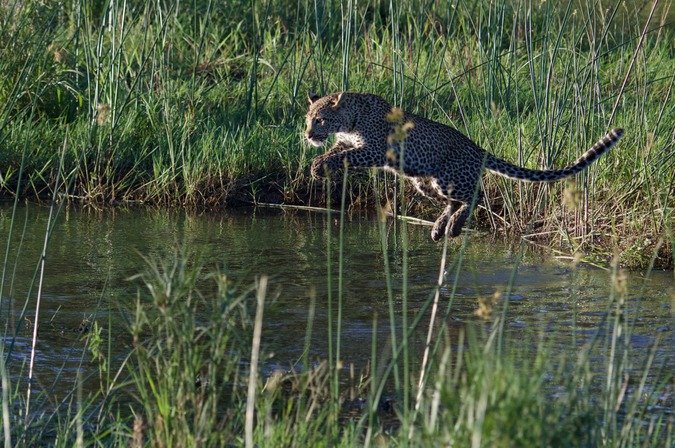 Second leopard cub jumping across river
