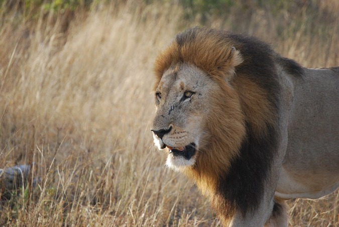 Lion in Kruger National Park, South Africa