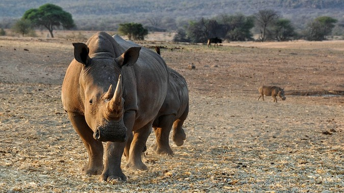 White rhino in Namibia