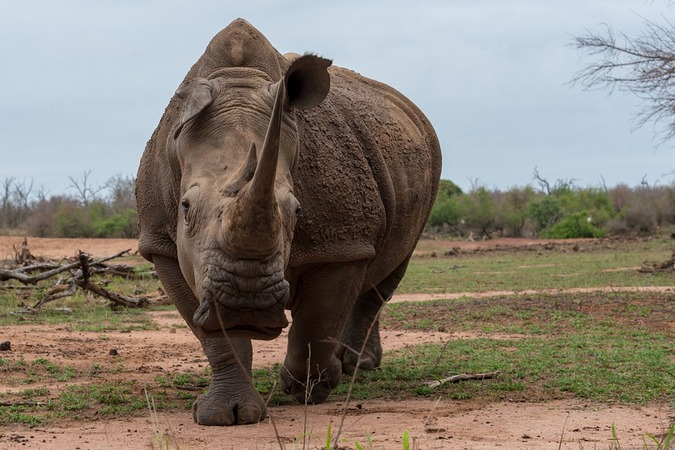 White rhino in Eswatini, Kingdom of Swaziland