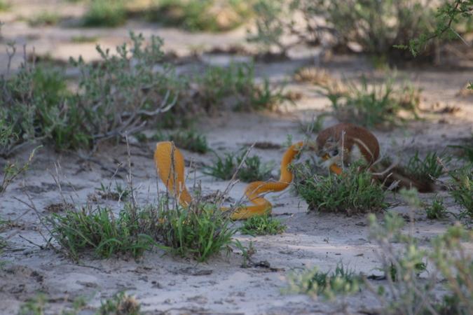 Cape ground squirrel biting Cape cobra's tail