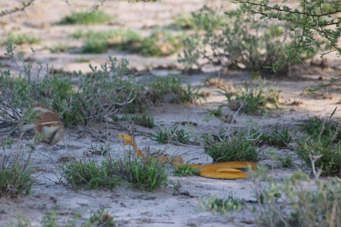 Cape ground squirrel going up against Cape cobra