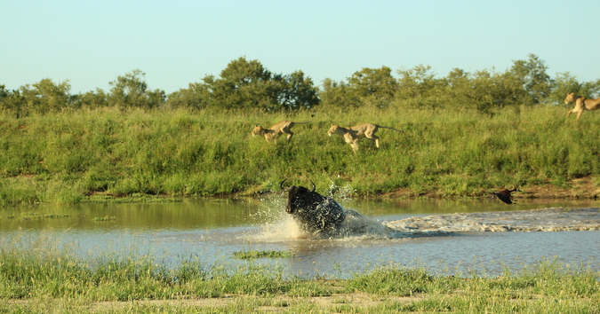 Lions try to chase wildebeest in the water