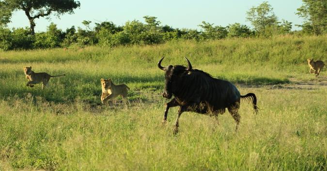 Wildebeest escaping lionesses
