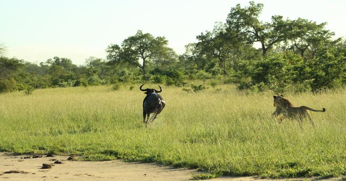 Wildebeest runs away from lionesess