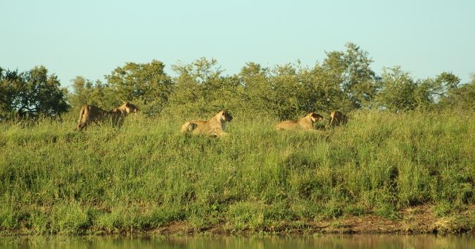 Lion pride spot a wildebeest