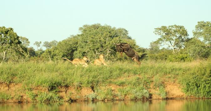 Wildebeest jumps over lionesses