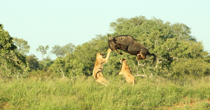 Wildebeest jumping over two lionesses