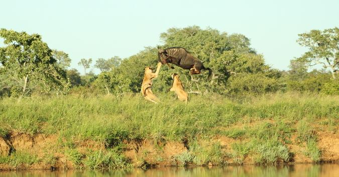 Wildebeest flying over lionesses