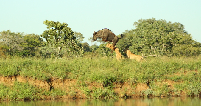 Wildebeest kicks lionesses in face