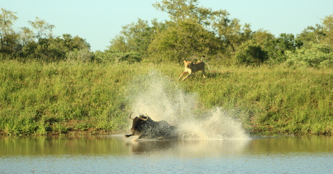 Wildebeest escapes from lions into the water