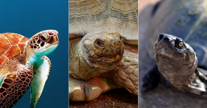 A collage of a turtle, tortoise and terrapin