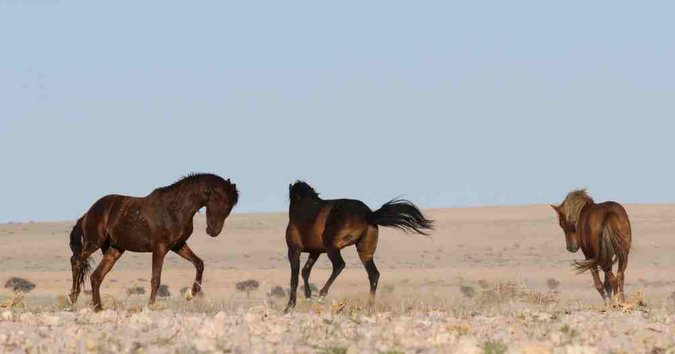 Wild horses in Namibia