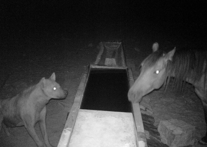 Camera trap showing a hyena and horse at water trough