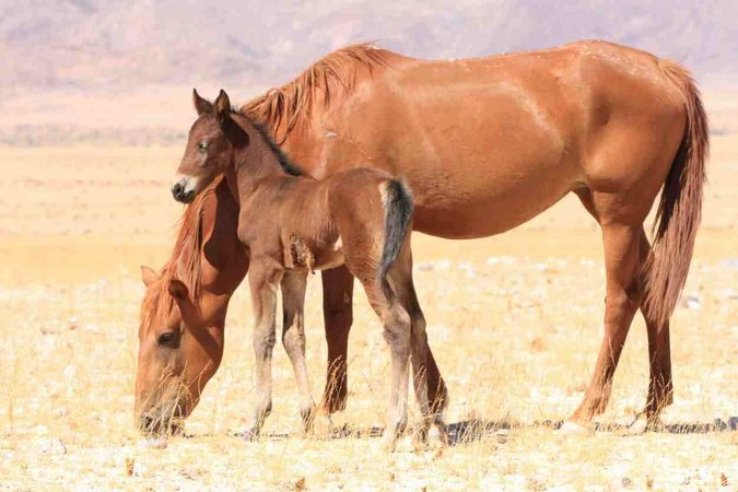 Wild horse with injured foal in Namibia