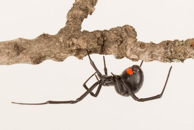 Female Phinda button spider