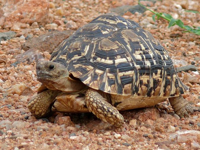 A leopard tortoise in Kruger National Park
