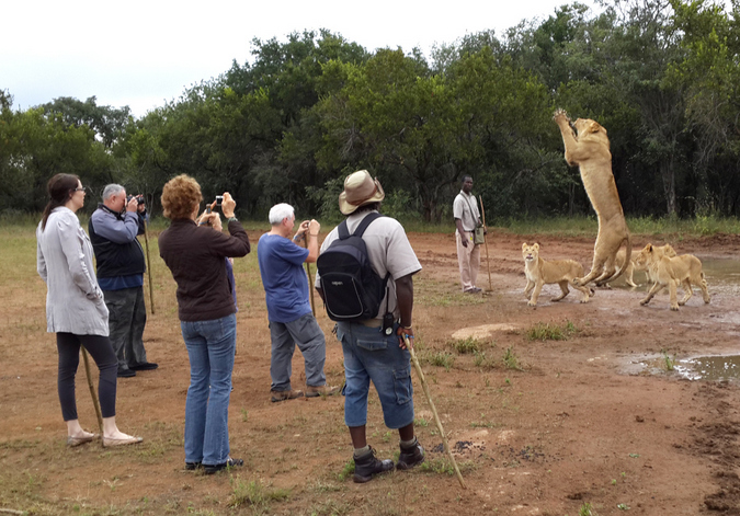 A juvenile lion jumps for bait tossed by a guide during a lion walk with tourists at Ukutula Lodge & Lion Research Centre, South Africa