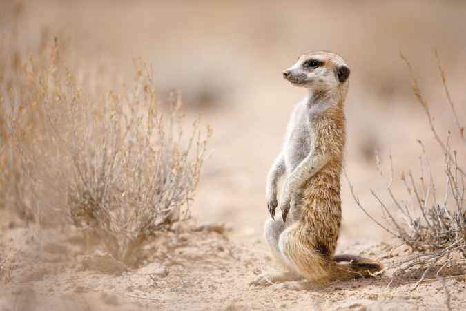 Meerkat in the Kalahari Desert