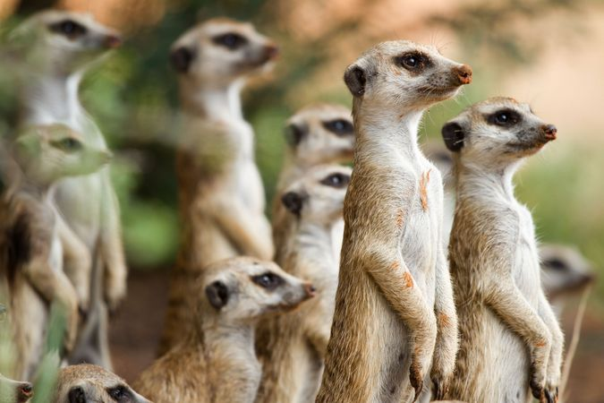 Meerkats are cooperative breeders that live in social groups