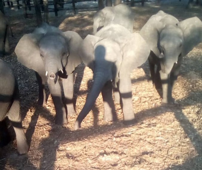 Young elephants in holding pen in Zimbabwe