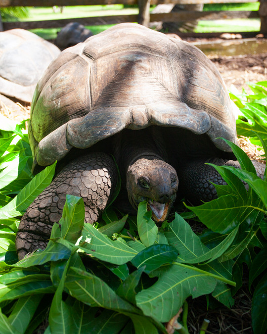 A giant tortoise eats in Praslin in the Seychelles
