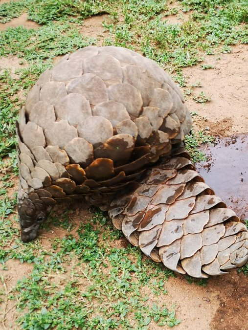 Ground pangolin after being seized from poachers