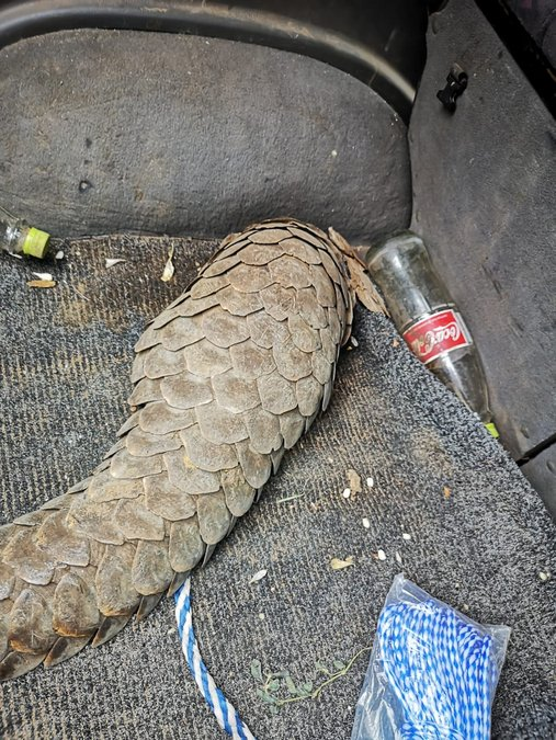 Pangolin found in back of perpetrators' vehicle
