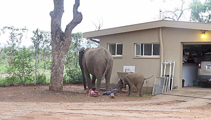 Elephant and calf eating marula fruit by a house in Kruger