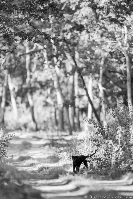 A black leopard photographed in Kabini Forest, India