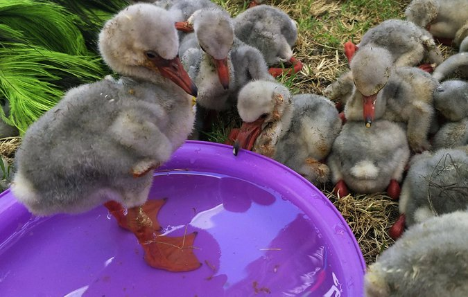 Rescued flamingo chicks