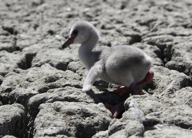 Aflamingo chick struggles to walk on a dried out dam in Kimberley