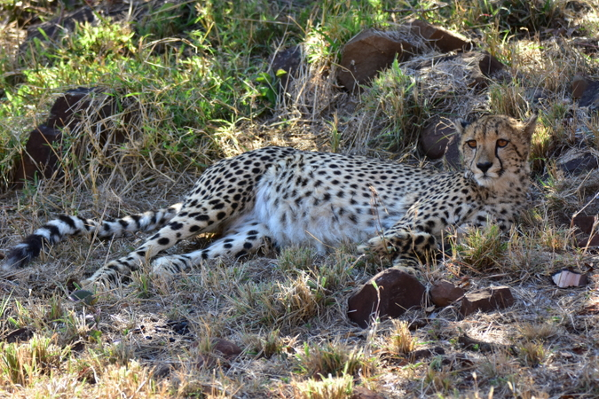 Female cheetah resting in the shade