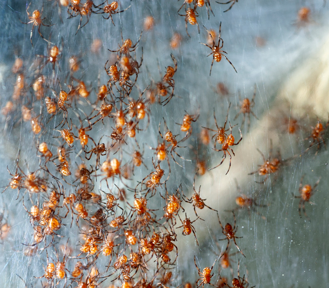 Phinda button spiderlings