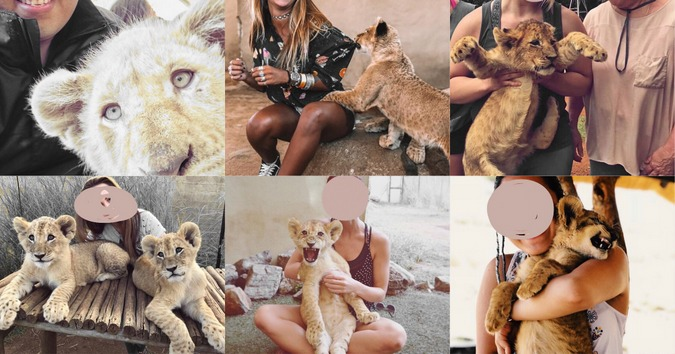 Collage of images showing people petting lion cubs