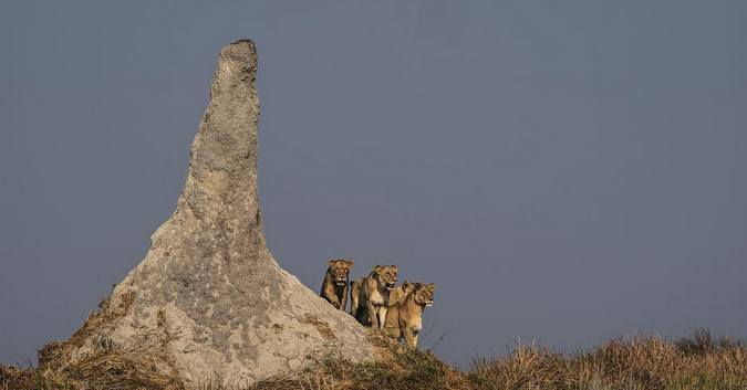 Lionesses by termite mound