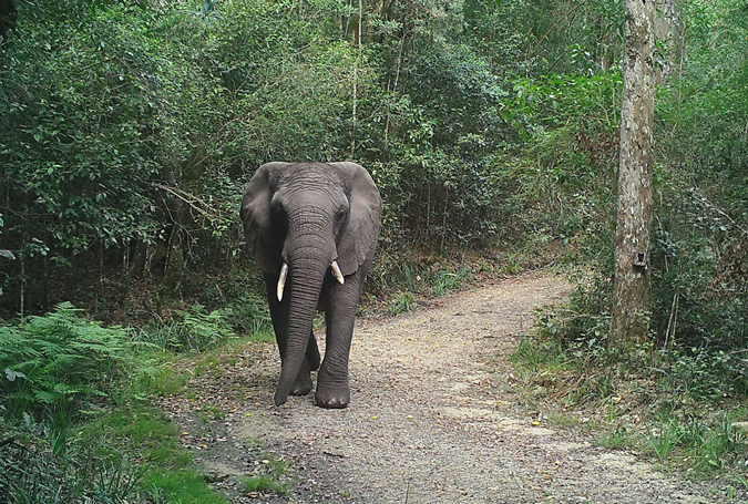Female elephant in Knysna forest