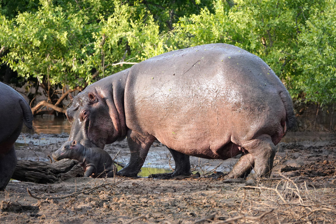 Newborn hippo with its mother by waterhole