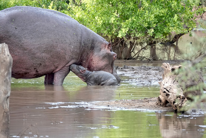 Newborn hippo with mother in water