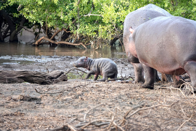 Newborn hippo with adults