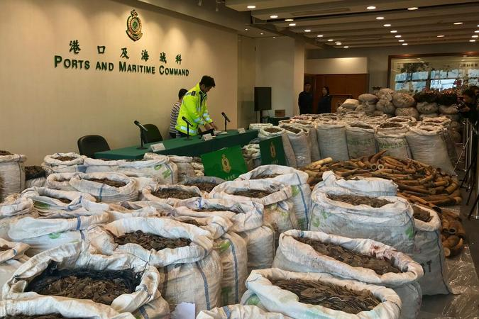 Ivory tusks and pangolin scales seized by Hong Kong Customs are displayed at a news conference in Hong Kong