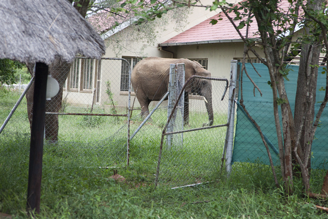Elephant eating grass in neighbour's house in Kruger