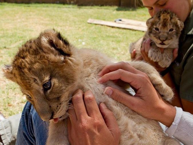 Person petting lion cub